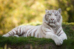Biely tiger je exotické zviera
