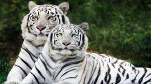 Незвичайне забарвлення шерсті білого бенгальського тигра