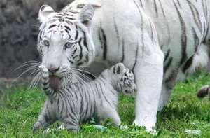 Харчування і спосіб життя білого тигра