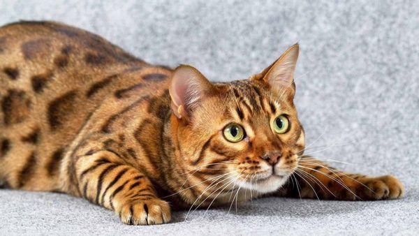 грайлива кішка