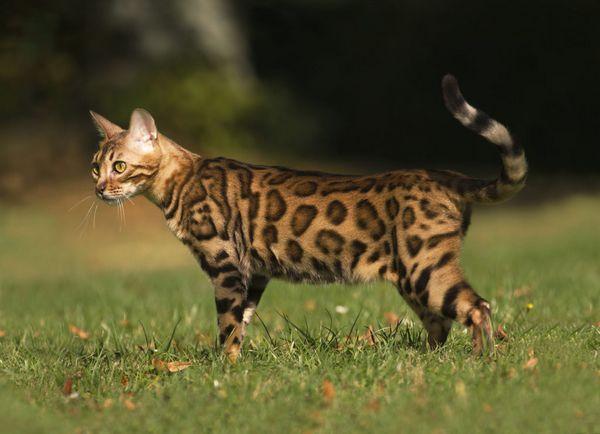 вигул кішки
