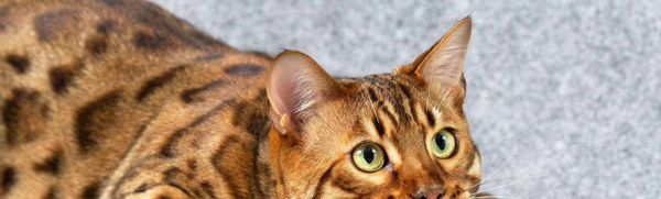 Bengálska mačka - štandard, charakter a obsah