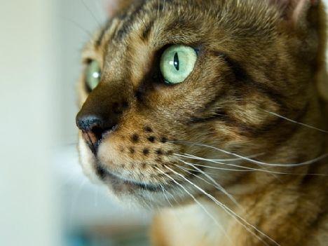 Бенгальська кішка крупним планом