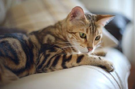 бенгальська кішка на фото