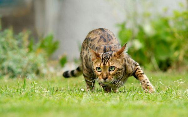 бенгальська кішка на полюванні