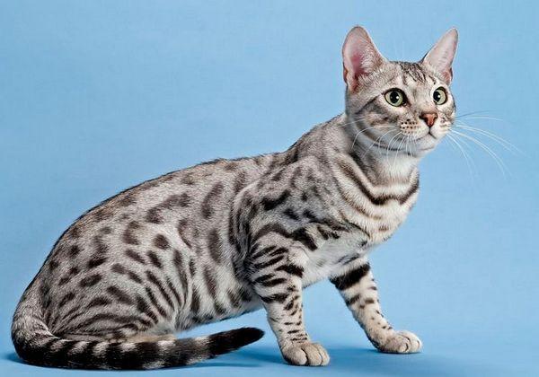 Бенгальська кішка срібляста