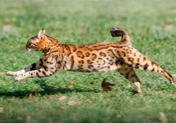 Бенгальська кішка характер