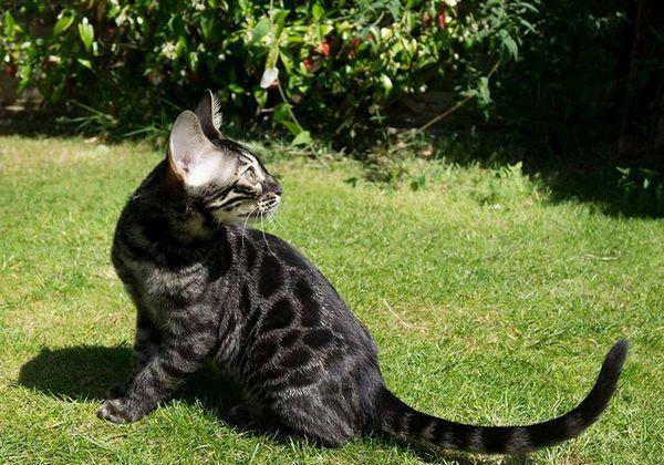 чорна Бенгальська кішка