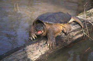 Postarajte sa o svoje prsty alebo o zvláštnosti chovania korytnačky doma