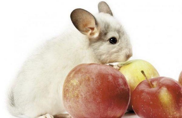 Шиншила і яблука