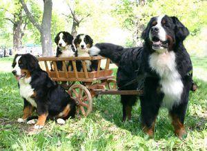 Бернська вівчарка - стандарти породи і розведення цуценят.