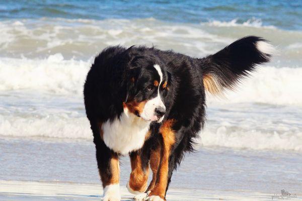 Бернська гірська вівчарська собака