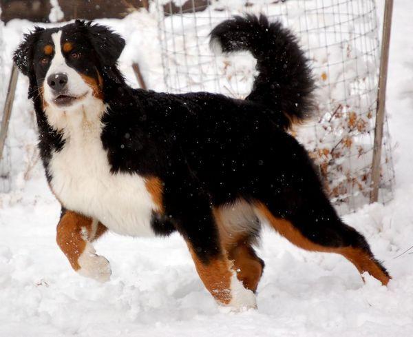 Бернська гірська вівчарська собака фото