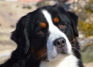 Bernský salašnícky pes: charakteristika a popis plemena