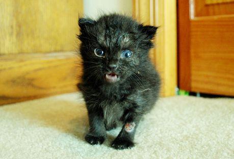 інкубаційний період сказу у кішок