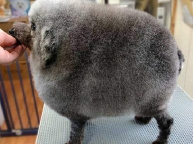 Божевільна стрижка собаки під круглу вівцю