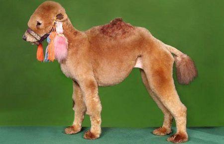 Стрижка зробила з собаки верблюда