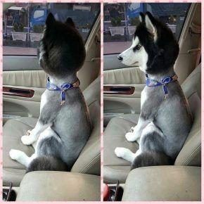Собака з стриженим тілом і пухнастою головою