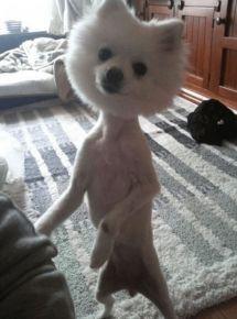 Божевільна стрижка собаки у вигляді кульки на тонких лапках