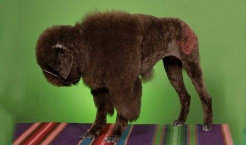 Стрижка перетворила собаку в маленького бізона