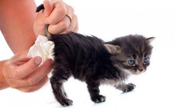 Біфідумбактерин для кошенят