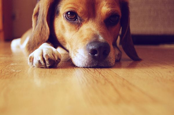 Beagle - plemeno psa