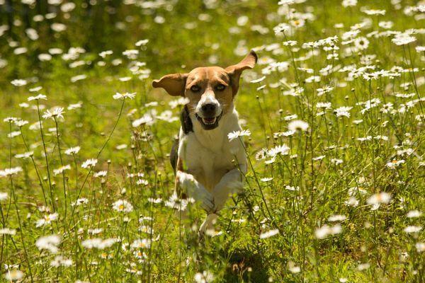бігль в траві