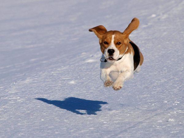 собака породи бігль