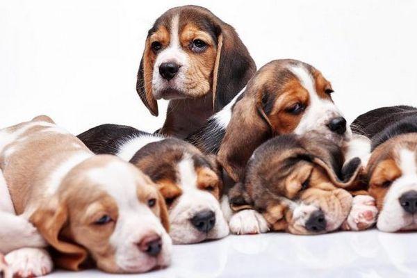 Бігль щенята - славні малюки з мокрими носиками