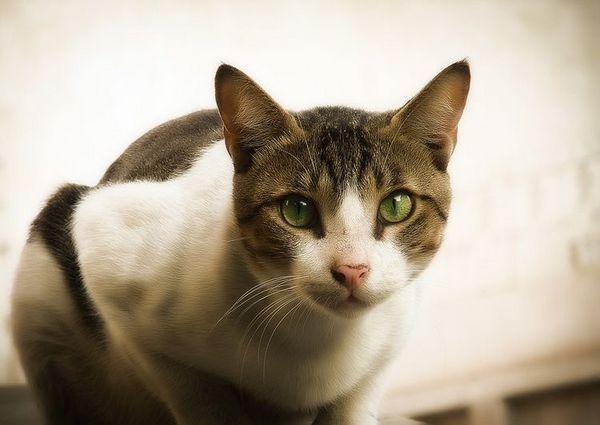Кішка з зеленими очима
