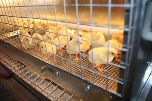Препарат биомицин для курчат