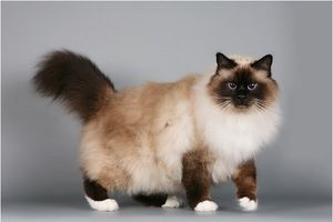 Історія походження бірманської породи кішок