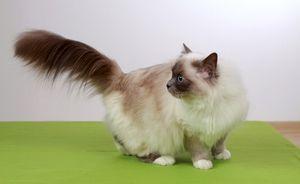 Опис легенди про священних бірманських кішок