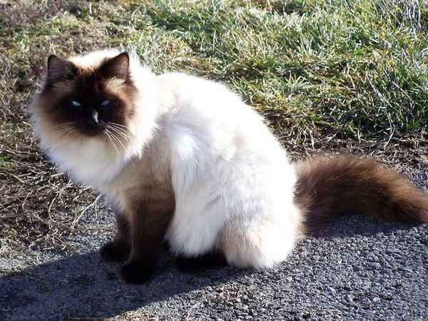 Опис кішок бірманської породи