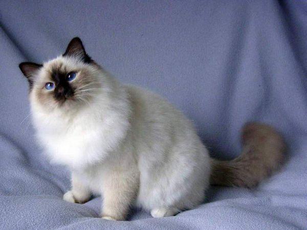 Різновиди забарвлення бірманських кішок