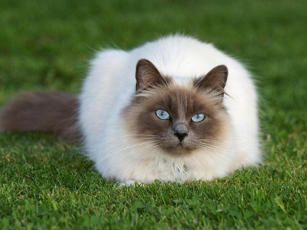 Опис особливостей зовнішності бірманських кішок