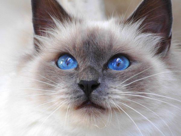 Особливості кольору очей кішок бірманської породи