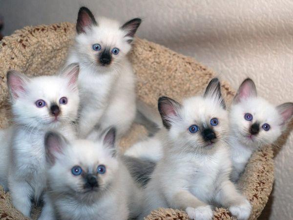 Опис бірманських кошенят