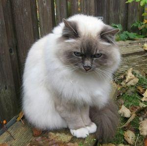 Правила догляду за бірманськими кішками