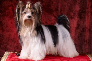 Порода собак Бівер йоркширський тер`єр