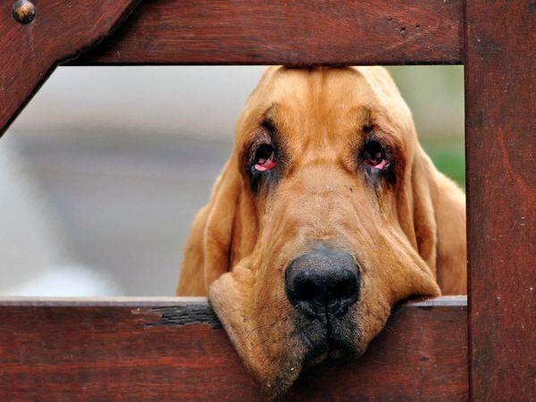 собаки породи Бладхаунд
