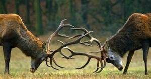 Поєдинок самців оленя за прихильність самки