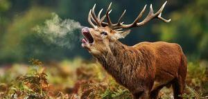 Чи можна полювати на благородних оленів