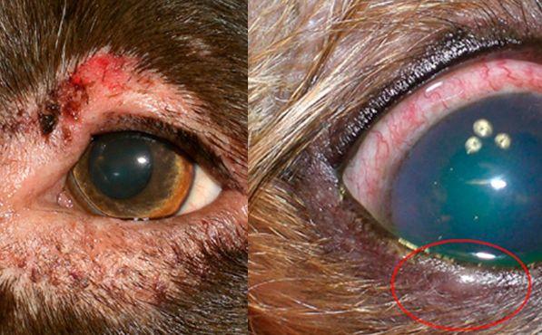 блефарит з кератокон`юнктивітом у собаки