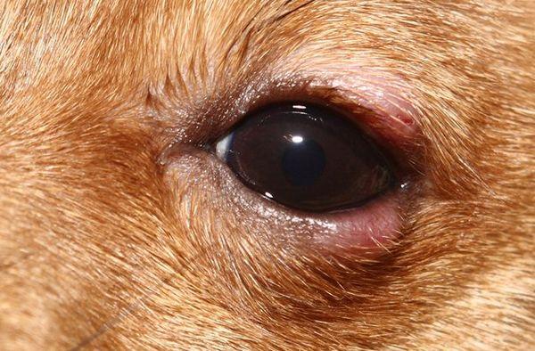 симптоми блефарити у собаки