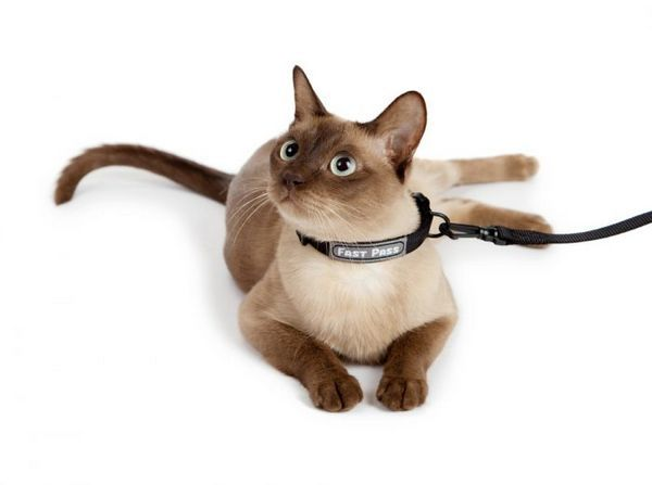 Кішка в нашийнику від бліх