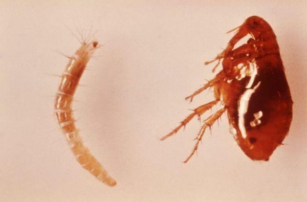 Личинка блохи і доросла комаха