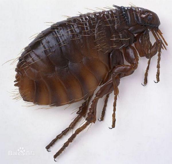 Blchy v domácnosti: ako sa zbaviť parazitov