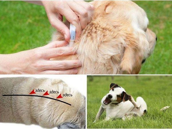 Обробка собаки краплями від паразитів