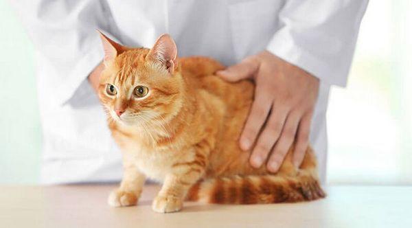 Огляд кота ветеринаром